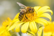 When bees land on a flower, they transfer pollen onto its pistil.