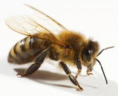 "A bee, the origin of the phrase ""busy as a bee.""."