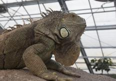 Iguanas require large enclosures to live in.