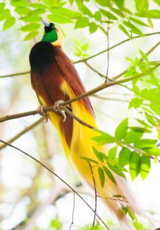 Most birds-of-paradise live in rainforest regions.