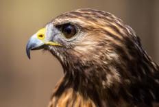 There are over 50 species of hawk.