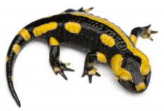 Salamanders may live in the rainforest.