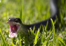 """Black snake"" may refer to the black racer snake in the United States."