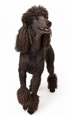 A Poodle is mated with a Labrador retriever to produce the most popular designer dog, the Labradoodle.