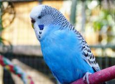 The budgerigar is also known as the common parakeet.