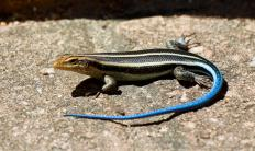 The blue-tailed skink is a flat lizard.