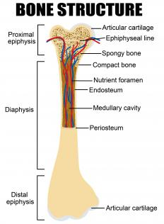 Osteoprogenitor cells are found in the inner layer of the periosteum.