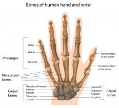 Metacarpal bones lie between the wrist and the fingers.