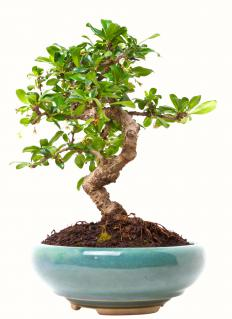 Bonsai plants need to be kept trimmed with shears.