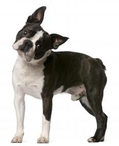 Boston terriers are illegal in some areas.