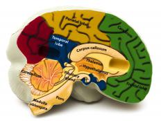 The areas of the brain, including the corpus callosum.