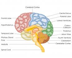 Physiological psychologists focus on how physical structures within the human brain direct or influence behavior.