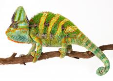 There are 160 species of chameleon, ranging in length from 1.3 inches to 30 inches.
