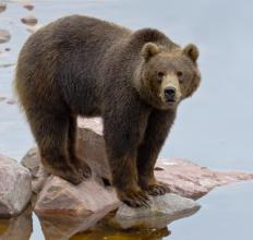 The grizzly bear lives throughout North America.