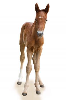 A baby equine under the age of one is considered a foal.