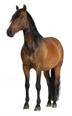 A horse's respiratory rate can be taken simply by watching for the rise and fall of a horse's rib area.