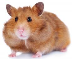 A Syrian hamster.