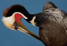There are eight species of pelican, a type of waterbird, found throughout the world.