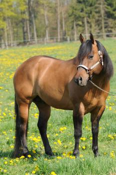 The quarter horse is handsome and muscular.
