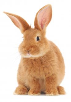 Thrianta rabbits are medium-sized with red-orange coats.