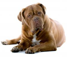 Mastiffs are prone to joint pain, but fish oil can help with inflammation.