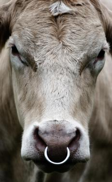 Why Do Some Bulls Have Nose Rings With Picture