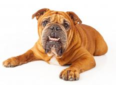 In some dog breeds, like bulldogs, a protruding lower jaw, or underbite, is a desirable trait.