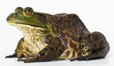 A bullfrog, the state amphibian of Oklahoma.