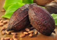 Cacao is an example of Abelmoschus.