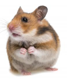 Consider the age of a hamster before buying.
