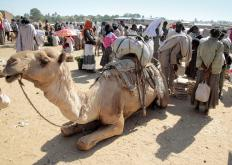 Middle Eastern versions of choultry often offer a resting place for animals such as camels.