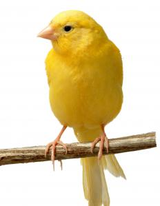 Canaries are members of the finch family.