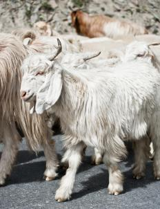 Some goats are raised for their wool, which must be carefully sheared.