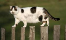 Cats allowed outdoors are exposed to numerous health and safety threats.