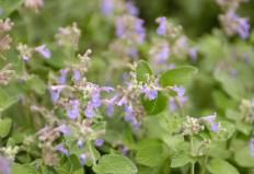 The catnip herb can grow up to 4 feet high.