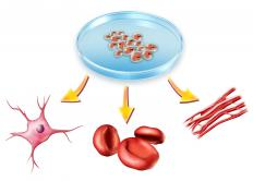 Stem cells and the types of cells they could become.