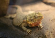 Vivariums are typically made of glass and wood and help bearded dragons feel secure.