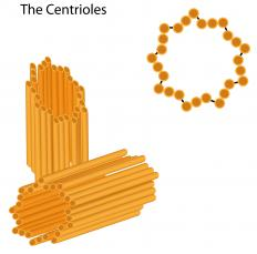 Centromes contain a pair of centrioles.