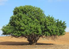 Carob, which comes from the carob tree, increases the metabolism.