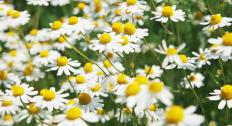 English daisies can be found growing wild.