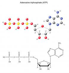 Most molecular motors derive energy from the breakdown and synthesis of ATP.