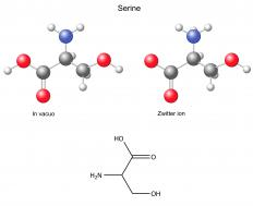 Phosphorylation only occurs at specific amino acids, such as serine.
