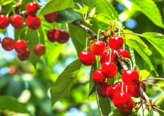Weeping cherry trees produce fruit, although it is not edible.