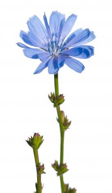 Chicory is a blue-flowered plant whose leaves are often used in salads. .