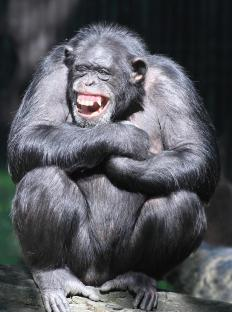 The common chimpanzee is quite intelligent and can communicate with body language, facial cues, hand gestures, and vocalizations.