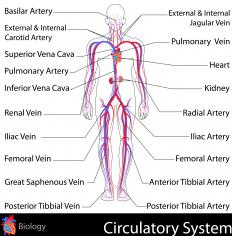 The pontine cistern contains the Basilar artery, which provides oxygenated blood to the brain.