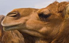 Camels shed about 5 pounds of hair every spring.