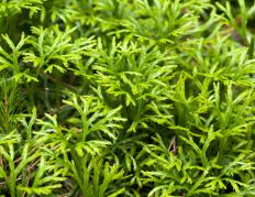 Club moss is another name for selaginella.