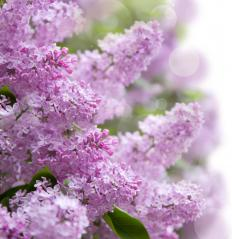 Lilac hedges also produce striking flowers.