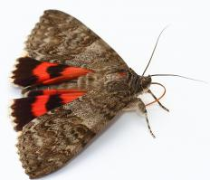 Moth pheromones usually only attract male moths, although without male moths reproduction of the moths ceases.
